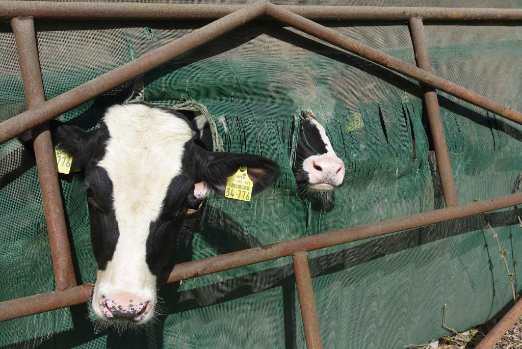 Kühe sagen Tschüß